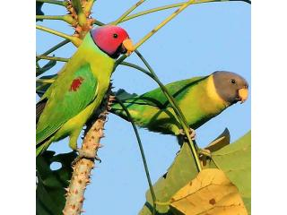 Plum Head Parakeets
